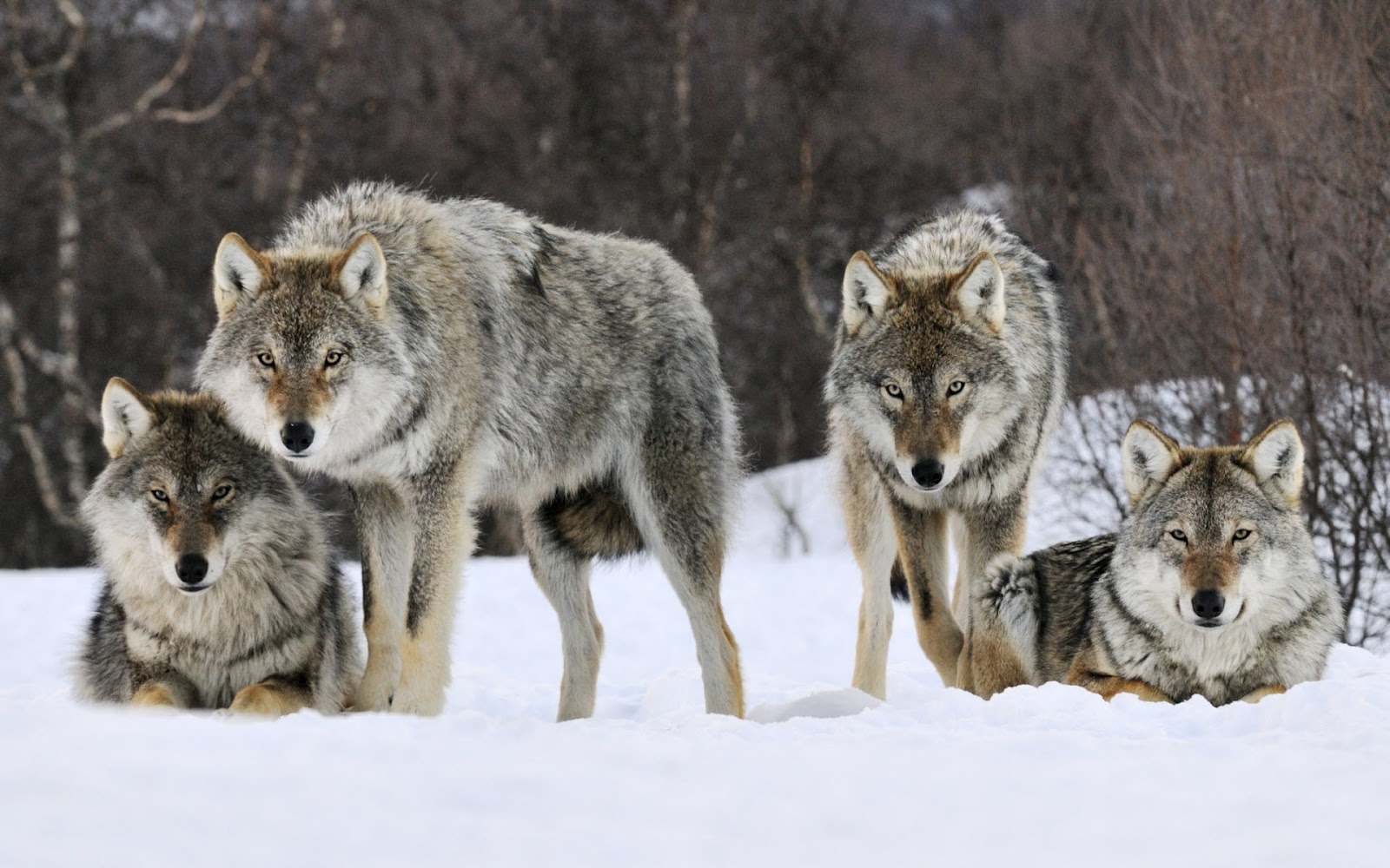 gray-wolves-norway-HD_wallpapers